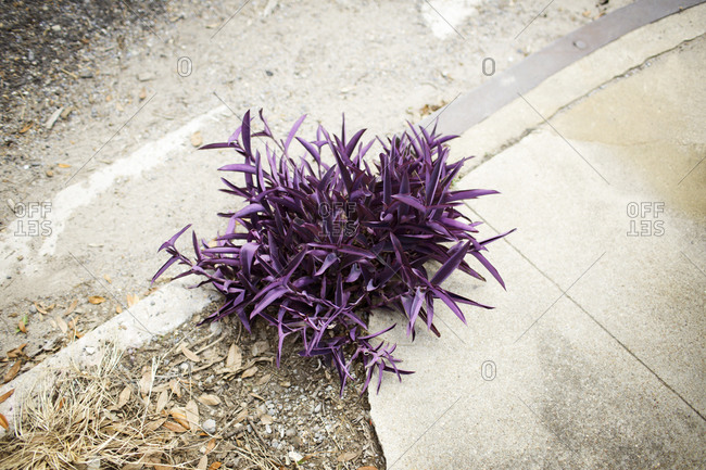 Purple heart plant growing on curb