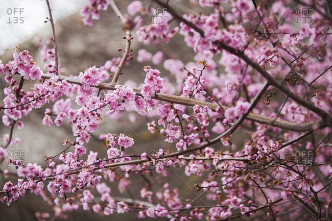 Pink floral blossoms on tree branches
