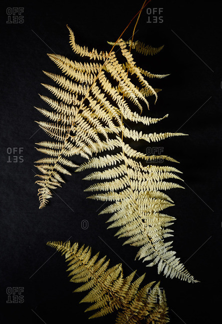 Dried fern fronds on black surface