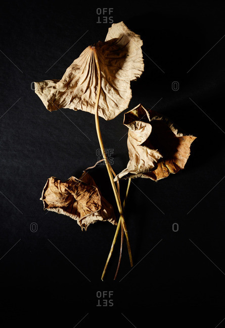 Three dried leaves and stems on black surface
