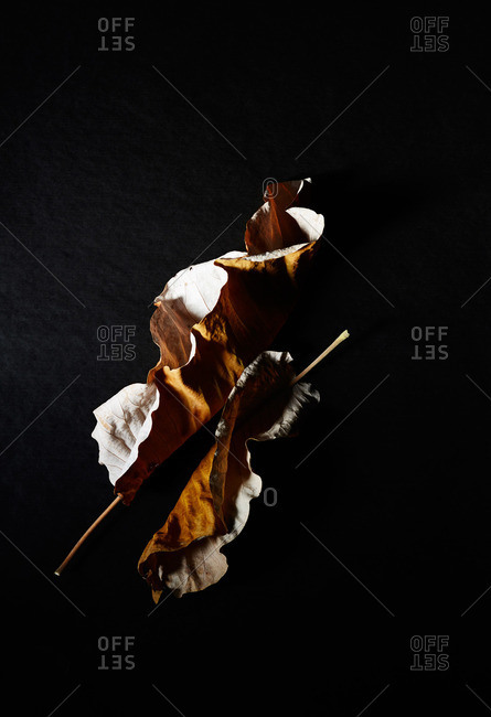 Two dried leaves and stems on black surface