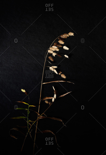 Dried grass stalks on black surface