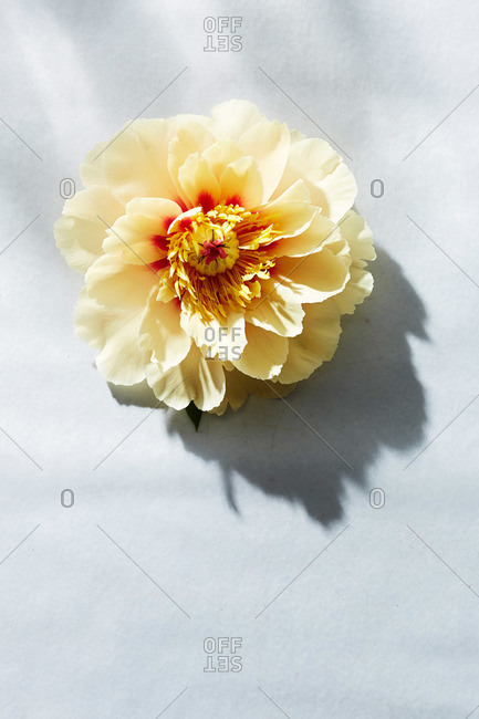 Yellow peony blossom on white surface