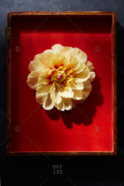 Yellow peony blossom in red painted box lid on dark surface