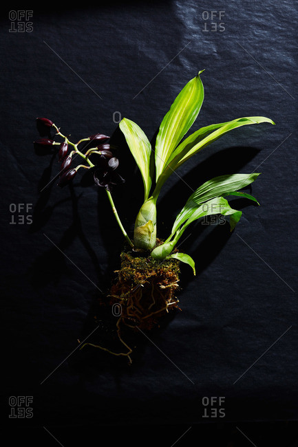Black orchid plant on black paper surface
