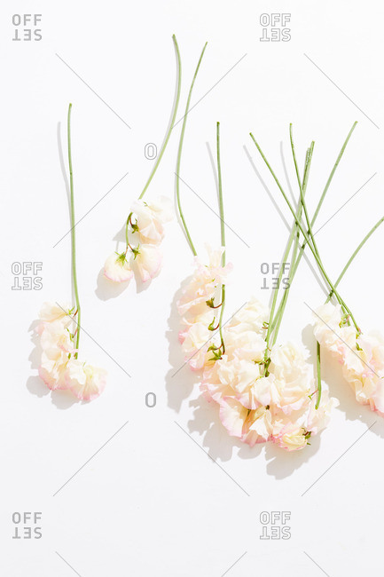 Pink sweet pea flower stems on white surface