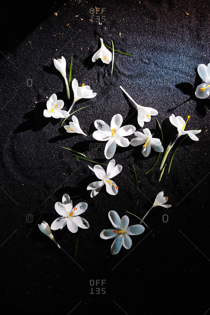 White crocus blossoms on black sand surface