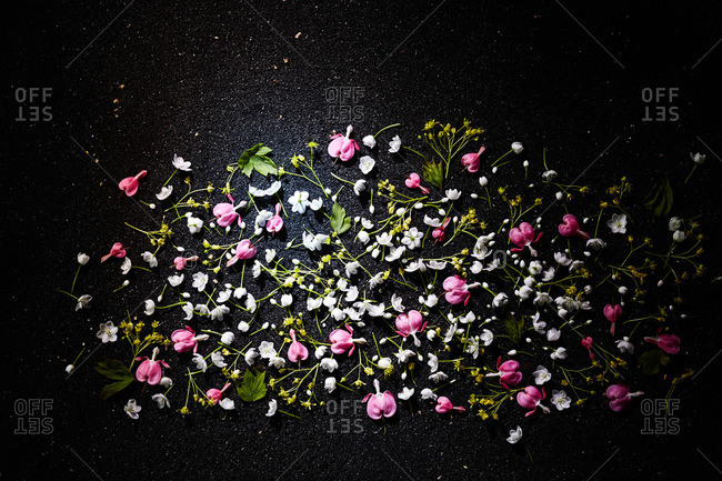 Pink and white bleeding heart blossoms on black sand surface