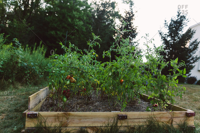 Pepper plants in a raised bed garden