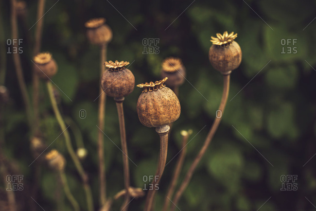 Brown poppy seed heads
