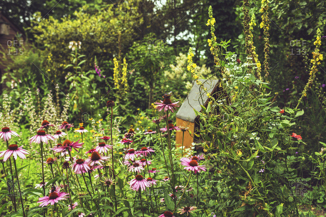 Butterfly on pink echinacea flowers