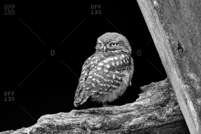 Owl fledgling perched in an old barn