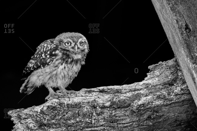 Owl fledgling on an old barn beam