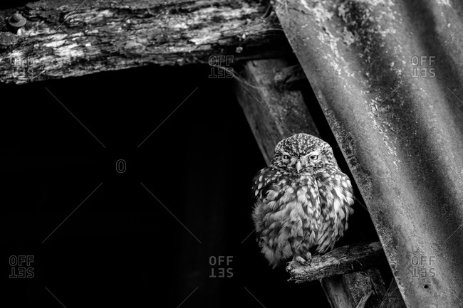 Owl on an old barn beam