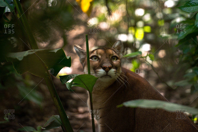 Puma in vegetation at the Belize Zoo