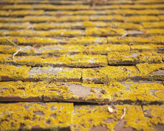 Close up of yellow lichen on terra cotta roof tiles