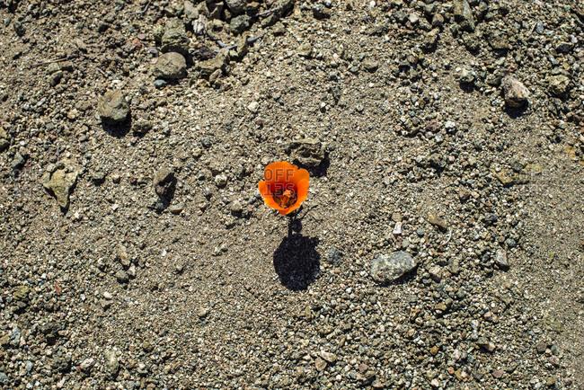 Single orange flower growing in gravel