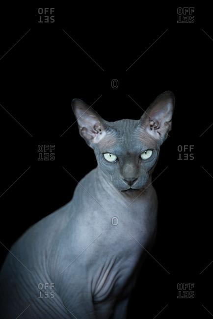 Gray hairless cat against a black background