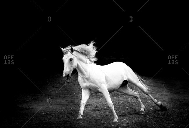 Galloping white horse against a black background
