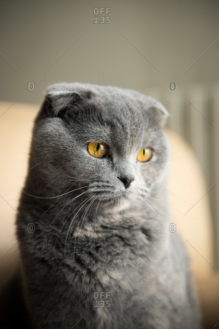 Portrait of a British shorthair cat with folded ears