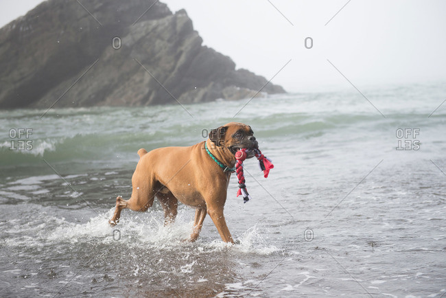 Mixed breed dog retrieving his toy on beach in Pacific Northwest