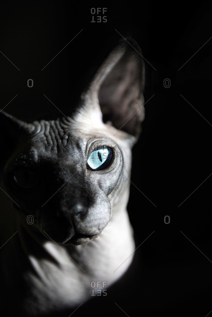 Wrinkled hairless cat with blue eyes on black background