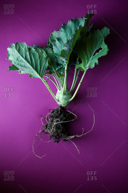 Kohlrabi vegetable with leaves and roots on pink surface