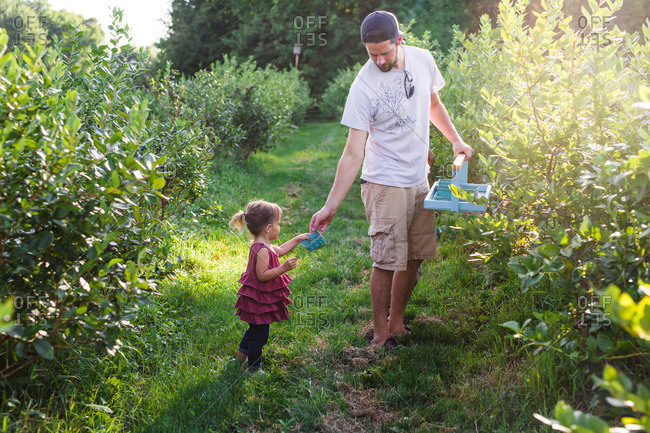 Little girl and dad picking berries together