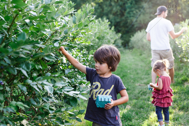 Dad and kids picking berries together