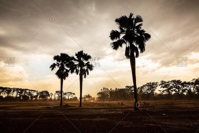 Palm trees in an empty field