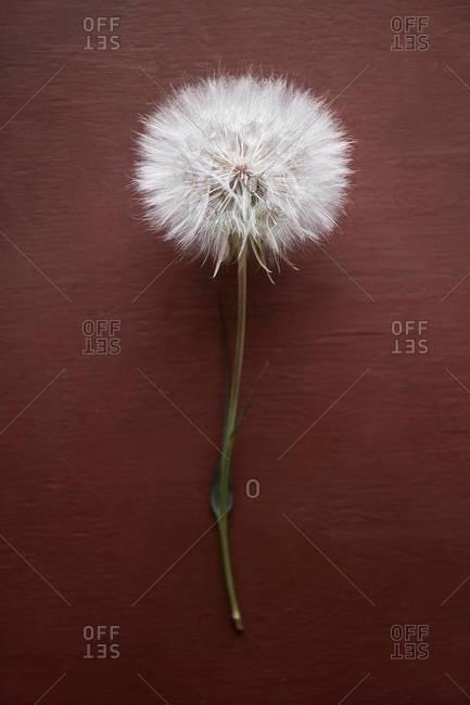 Dried salsify flower