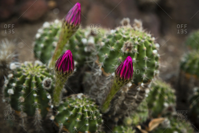 Spiny cactus with pink blossoms