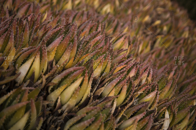 Close up of spiny cactus leaves