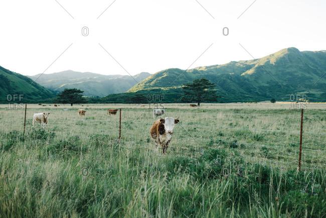 Cows in mountain prairie pasture