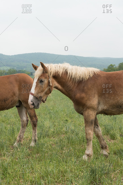 Palomino horses in a pasture