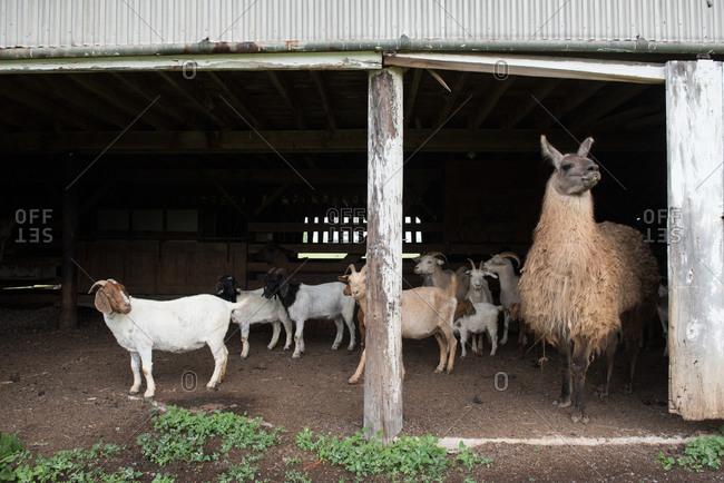 Alpaca and goats standing in a barn doorway