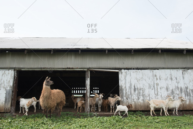 Alpaca and goats standing in front of a barn