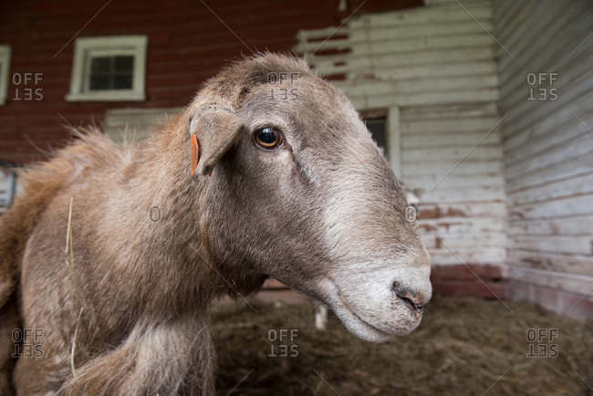 Close up of a molting katahdin sheep