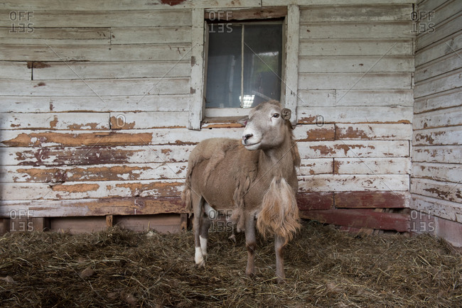 Molting katahdin sheep in a barn