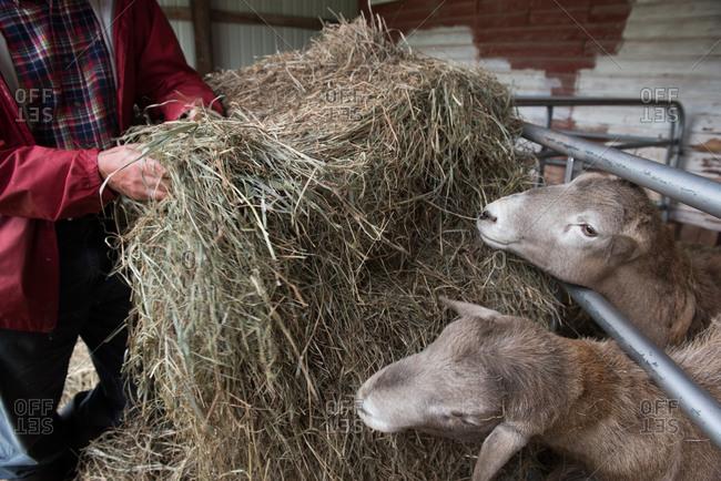 Farmer feeding sheep a bale of hay