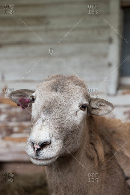 Close up of a katahdin sheep