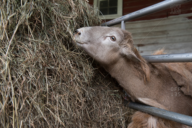 Sheep eating a bale of hay