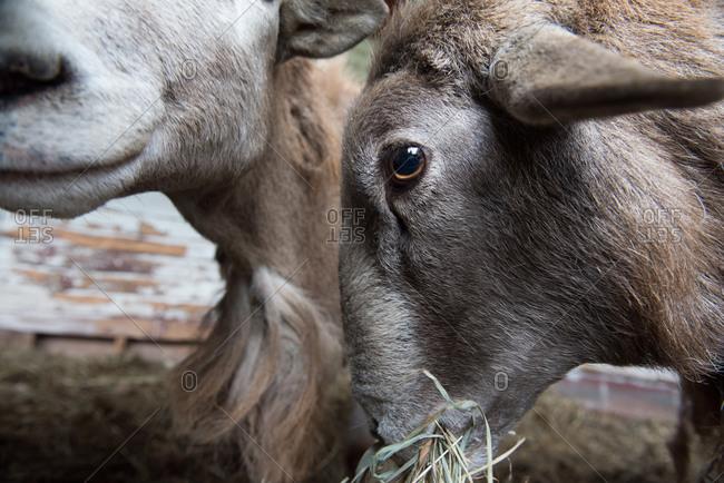 Katahdin sheep eating hay