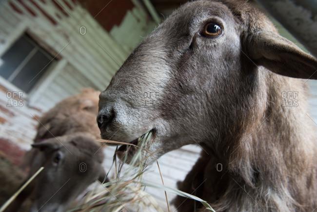 Close up of katahdin sheep eating hay