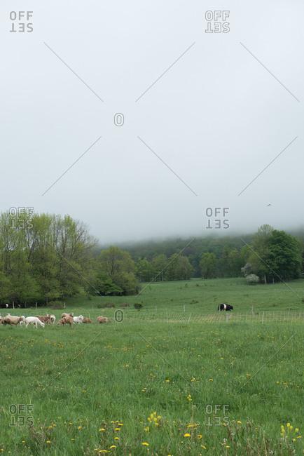 Livestock in scenic pastureland