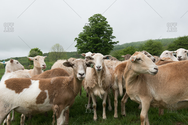 Sheep standing together in a pasture