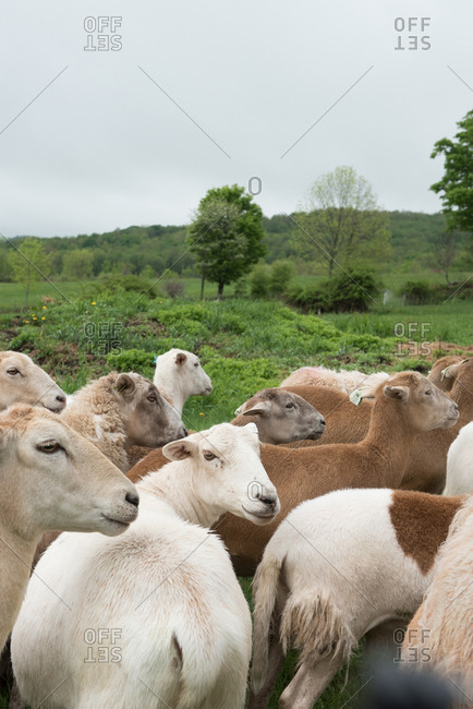 Herd of sheep in a pasture