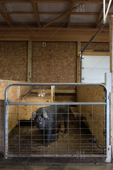 Large black pig in a stall