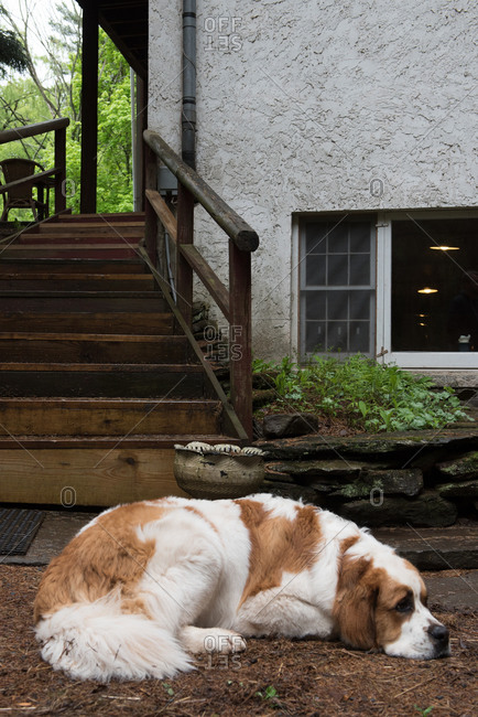 St. Bernard lying in front of farmhouse stairs