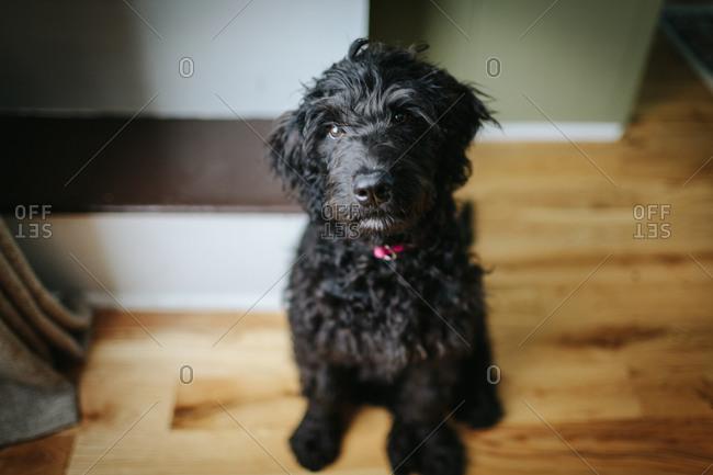 Portrait of a black labradoodle